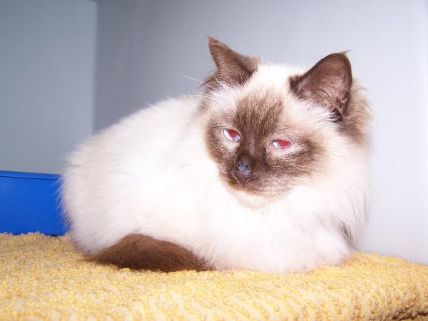 Trouvée à Colomiers chatte typée siamois poils longs 100_6597