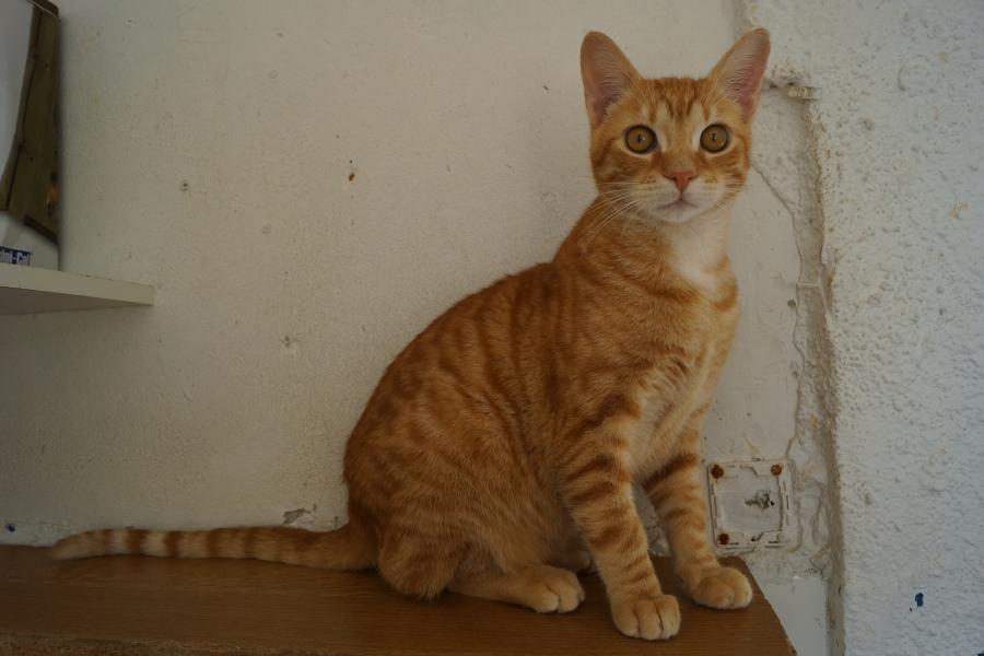 Trouvé à Colomiers gare chat roux tigré DSC00628